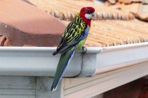 parrot cleanin gutter Chermside